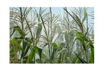 Напояване на царевица - СВЕМАР ООД