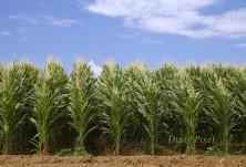 Напояване на царевица СВЕМАР ООД 2