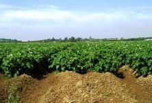 Напояване на картофи СВЕМАР ООД 3
